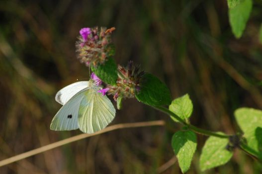 Butterfly.2 by Drvall