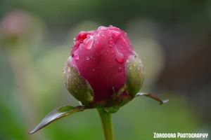 Tears Of The Rose by Zorodora