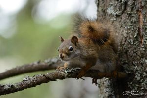 Squirrel on fir tree 3 by themanitou