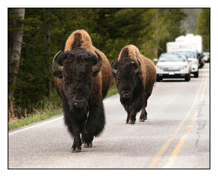 Bison on the Move by andrewmcconville