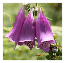 FoxGloves are the buzz by Tepara