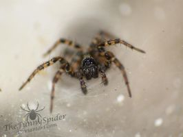 Female Textrix Denticulata by TheFunnySpider