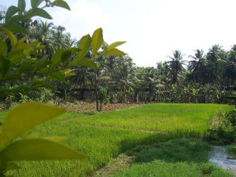 paddy field infront of my home by vipinck