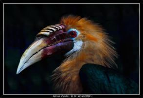 Papuan Hornbill by Dr-Koesters