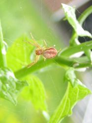 Orb Weaver Spider by firestar3590