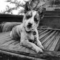 Pup in a Truck by ACantrell