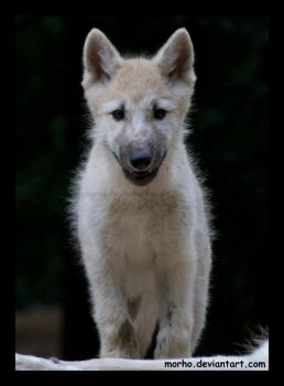 wolf puppy by morho