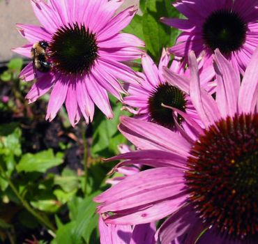 Echinacea and the Bee by lifeseeker