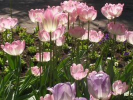 Pink Tulips by CatSpaceDesign