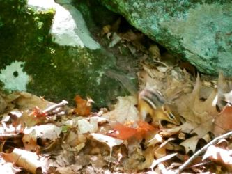 Curious Chipmunk Explores Leaf Litter by Darkendrama