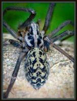 Funnel Web Spider by Iris-cup