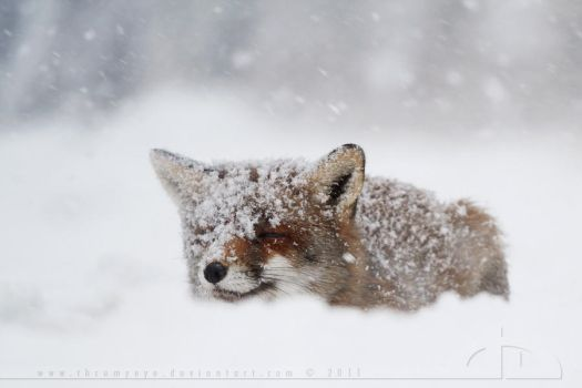 Fox in a Snowstorm by thrumyeye