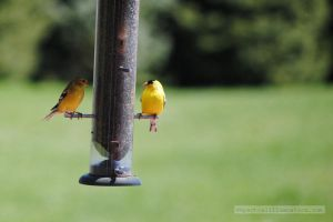 Goldfinches by charliemarlowe