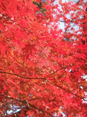 red red leaves by otepoti