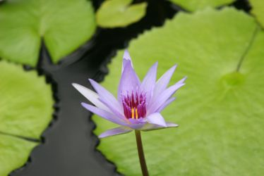 Lilly Pad Flower by nosajlay