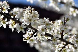 Blackthorn Blossoms by OfTheDunes