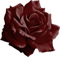 Burgundy Rose Png by yotoots