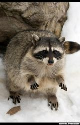 Racoon .3 by PaPeRDoLLLL