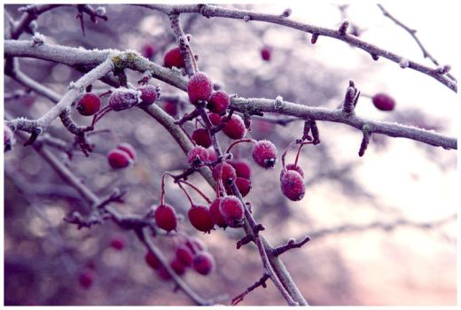 Winter Berries by diamondsTwinkle18