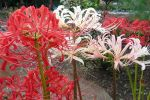 Red White Lycoris by Guadisaves02