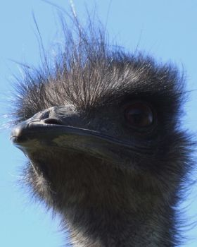 Emu 2 close up by shirlmax