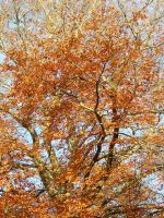 Flaming Red Tree by zommy
