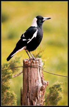 Australian Magpie by seaworthy