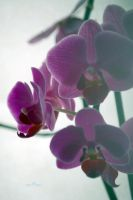 orchidee 2 by miaumi