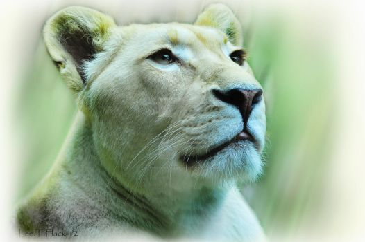 white lioness by photoflacky