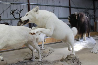 White Wolf Stock 2 by GloomWriter