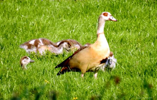 Egyptian goose with fledgling by IrishLordofKerry