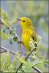 Yellow Warbler 3 by kootenayphotos