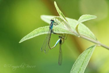 Dragonflies by Gambassi
