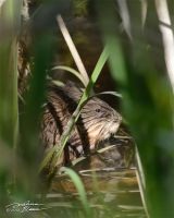 Muskrat 1 by themanitou