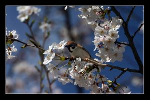 Bird in the blossom 3 by Keith-Killer