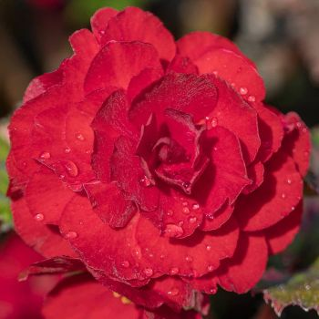 China rose by sequential