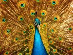 a peacock.. by objectiveprofile