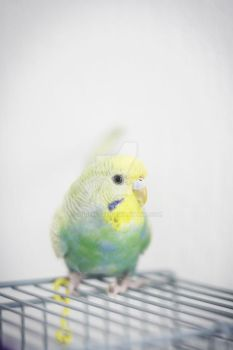Beautiful budgie by couinette