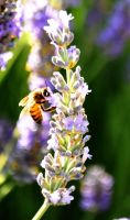 Bees and Lavendar 4 by Samtheengineer