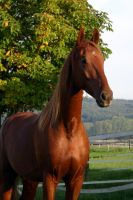 American Saddlebred Stock 60 by LuDa-Stock