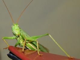 grasshopper1 by photoobject-lens
