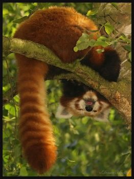 Red Panda by DeadlyDonna