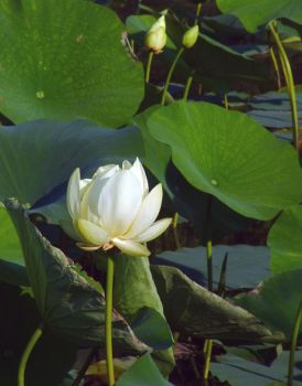Single Water Lily by revack