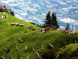 Cows in the Alpen by coverGX