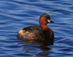 Little Grebe by NurturingNaturesGift