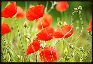 TH E POPPY IN FRANCE by IME54-ART