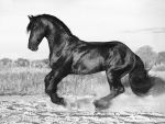Friesian stallion Wessel by Vikarus