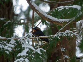 Thrush Sitting On Branch by wolfwings1