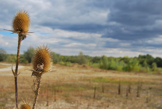 thistle by mardum