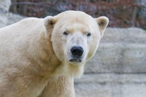 Polar Bear Stare by SnowPoring